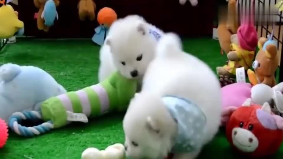 两只戴围巾的小奶狗,活动一会就得休息,两只小胖墩太可爱了