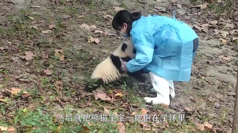 爸爸妈妈去上班,熊猫宝宝背书包去幼儿园,真的是太可爱了!
