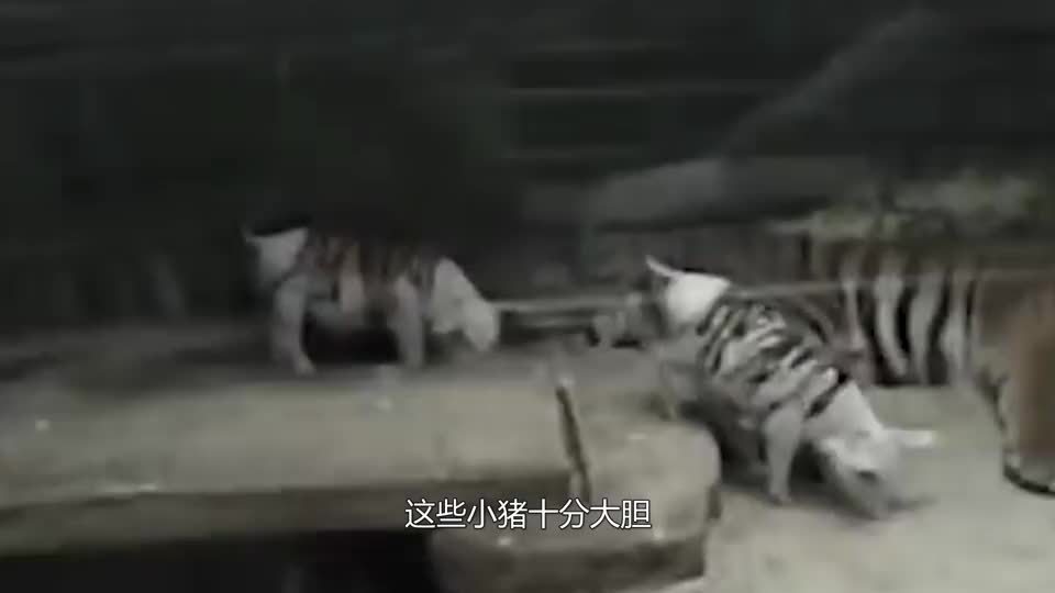 虎妈痛失幼崽茶饭不思,饲养员的一个主意让虎妈开心不已