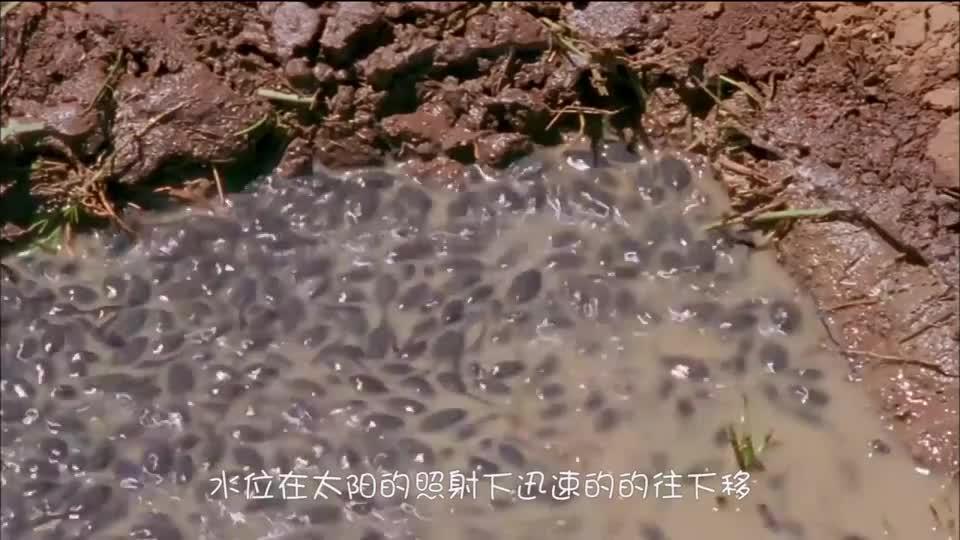 可怜天下父母心!上万只小蝌蚪快被晒死,牛蛙爸爸挖水沟救孩子