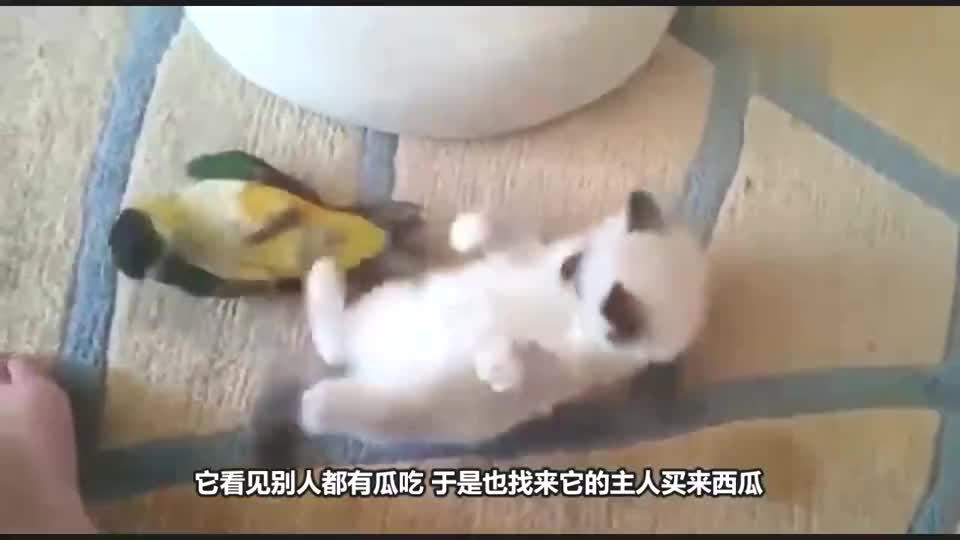 老外给鹦鹉吃西瓜,鹦鹉的举动让人哭笑不得,镜头拍下全过程