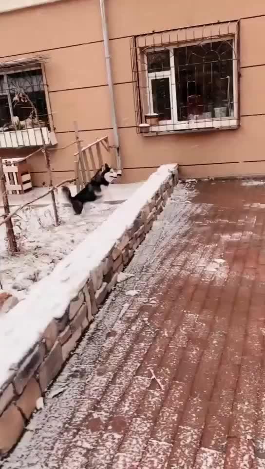 """萌宠:二哈:下雪了我又多了一项逗笑技能""""滑翔"""""""