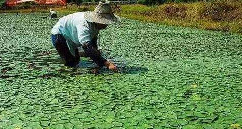 水中常见野草却是难得美味,野生的已成保护植物,北方人吃不到