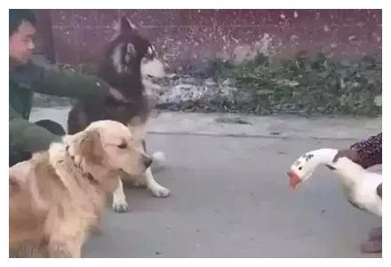 金毛跟阿拉斯加联手挑战大白鹅,结果反而被收拾得没了脾气