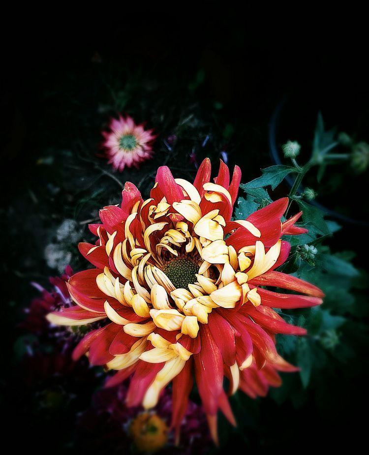 莫道风霜冷,且来看菊花