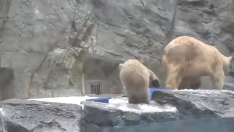 熊孩子翻身落入水中,北极熊赶忙下水,用身体将它托起