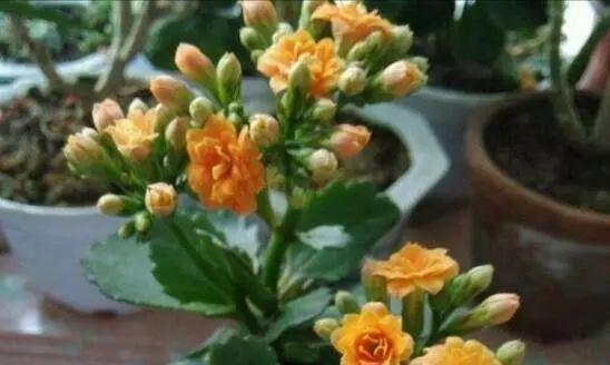长寿花品种千千万万,养育方法各不同,掌握基础方法呼呼开花