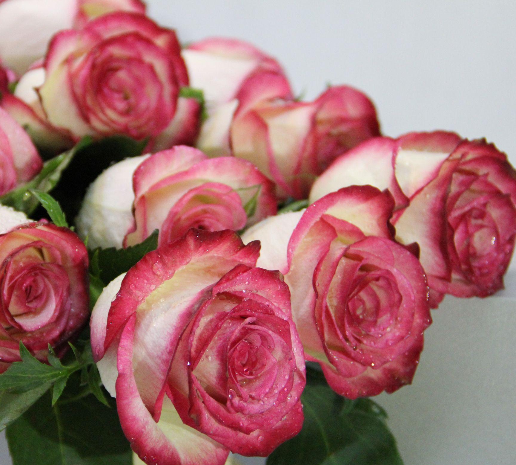 厄瓜多尔玫瑰有多美?美到天际美到让空气凝固!