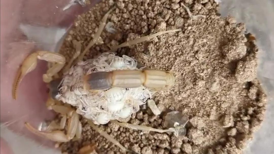 蝎房补光对孕蝎胚胎发育和预防蝎子的消化不良有明显作用