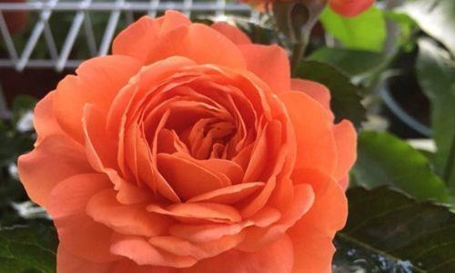 """""""玫瑰精品""""土星王阳台,丰腴婀娜,姿容高雅,可以说是养花首选"""