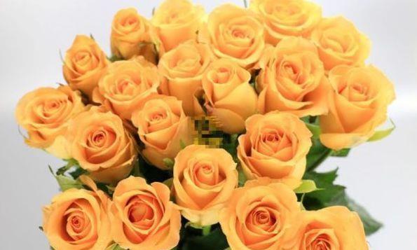 """""""优良玫瑰""""假日公主,金闪闪,观赏性极高,客厅养花必备"""