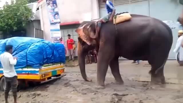 卡车深陷泥潭无法动弹大象出现的那一刻霸气开始了