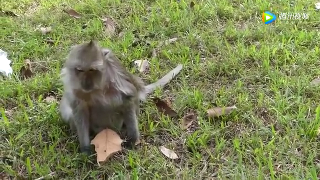 猴哥在草地上玩耍,玩着玩着就开始调皮了