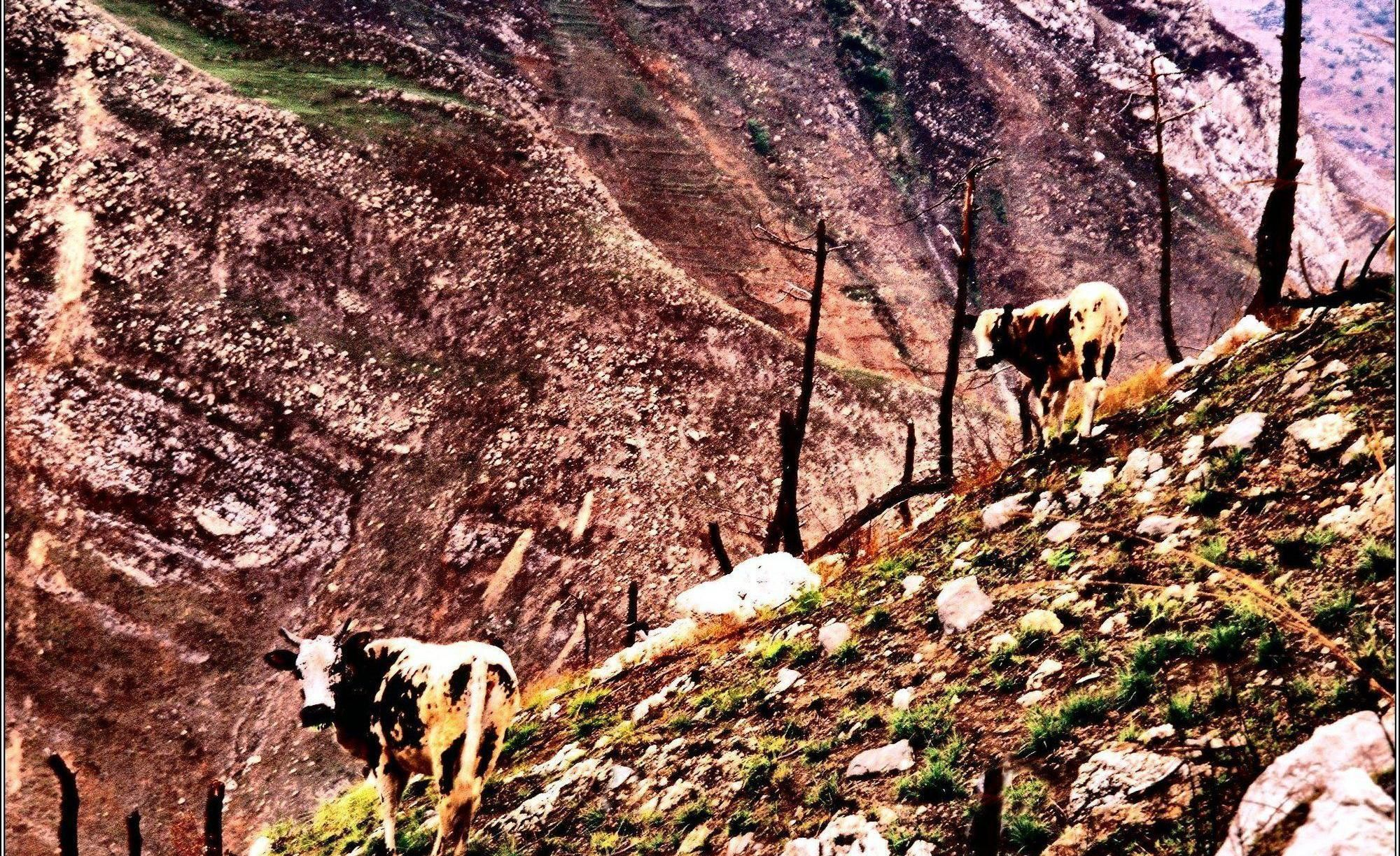 民间图集:四川凉山,荒山上的奶牛