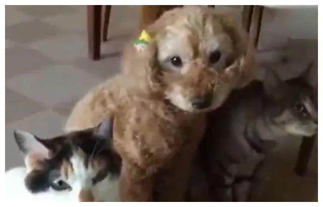 从小把泰迪和两只猫咪一起养,半年后,狗脸都让它丢尽了