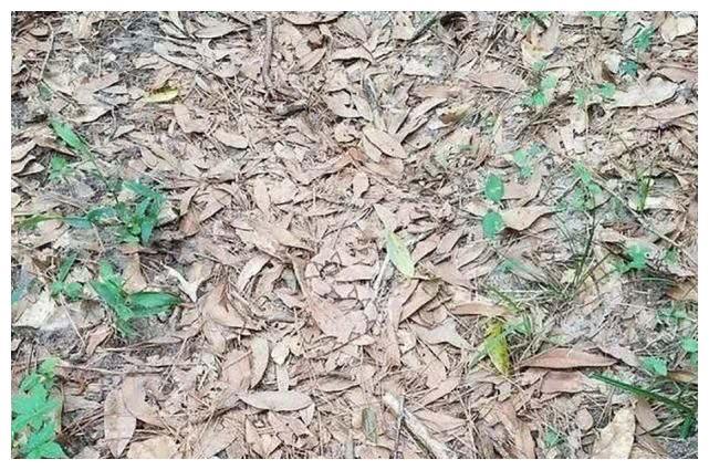 一条剧毒的蛇就藏在这片地上,你能看破它的伪装吗