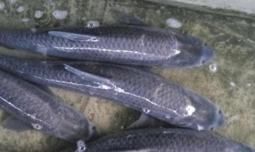 """这鱼在我国很常见,嘴里长着一块""""玉石"""",却被不少人浪费掉"""