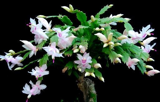 """蟹爪兰入秋后它施两种""""肥"""",新芽新叶呼呼长,冬天也能有花赏"""