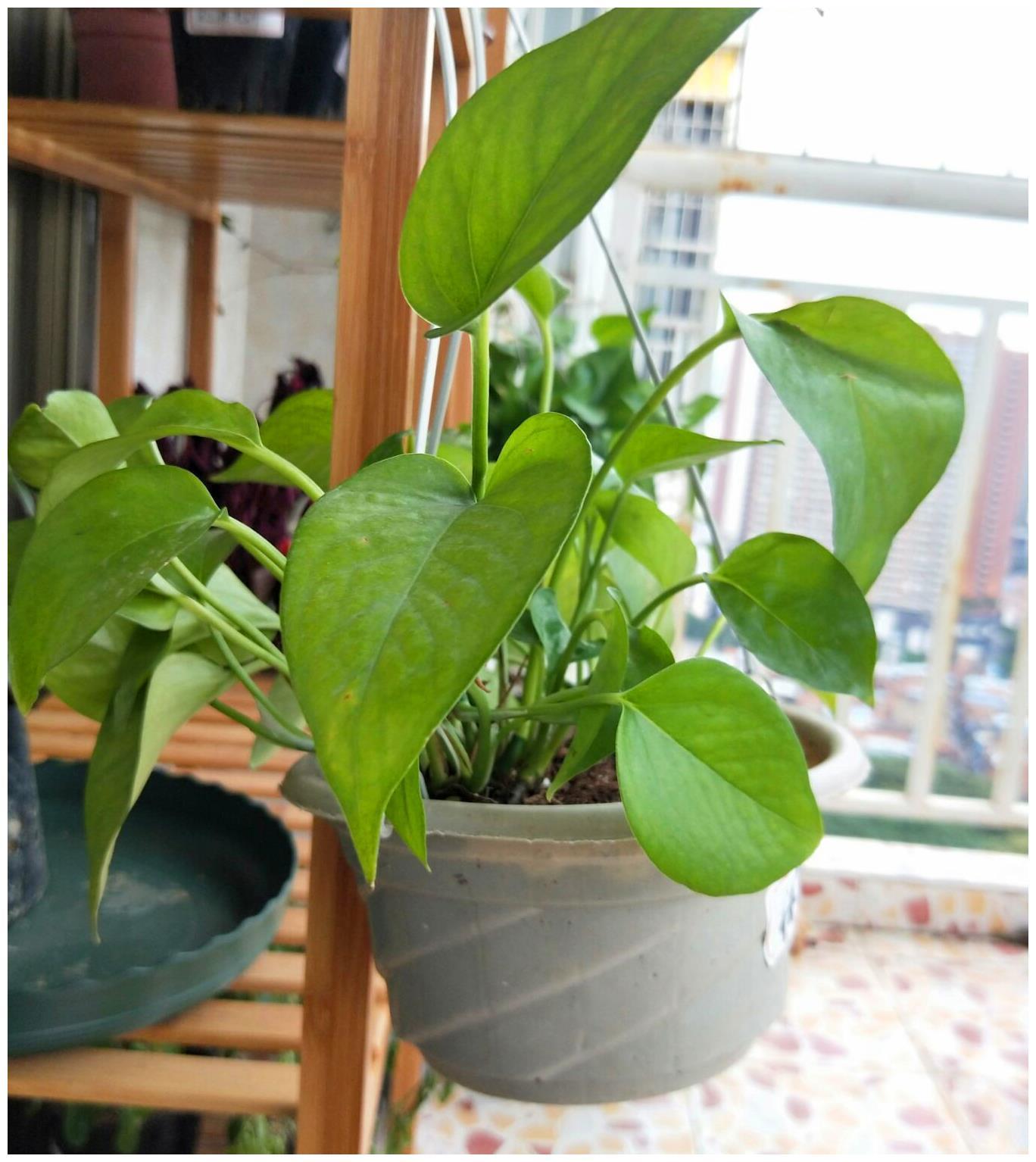 绿萝为什么不长大?盘点影响绿萝生长的3大因素!