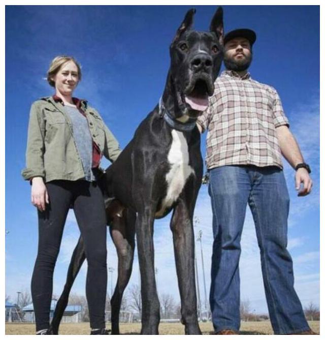 """在狗界有""""世界之最""""称号的7种狗狗,你知道几个?"""