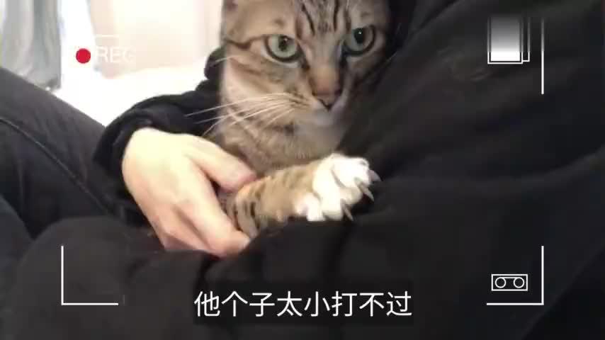 狸花猫有多聪明趁着主人不在欺负其他猫咪人前人后两个样