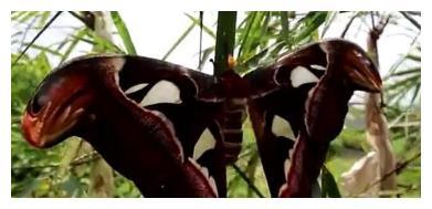 小伙路过竹林看到竹枝上有一只大蝴蝶,走近一看,小伙撒腿就跑。