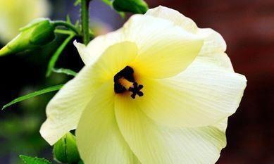 是花朵,是植物大熊猫,也是美食,也是茶饮,好多人不认识的食材