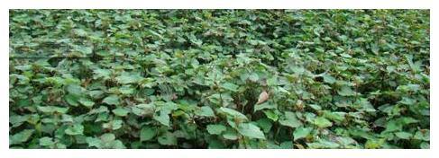 有种野草叫鱼腥草,虽然有异味,还是可以用来食用的