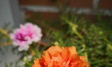 此花卉漂亮,花美色艳,气质如牡丹,花期长,非常好养,新手必入
