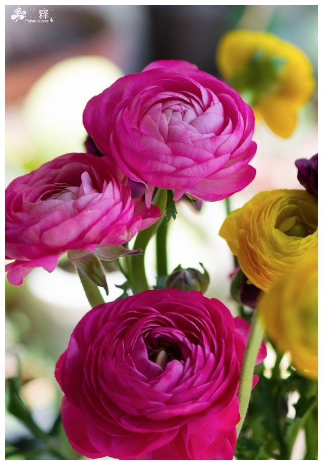 南方阳台也能种牡丹,种球种下就能开,花朵妖娆惹人爱