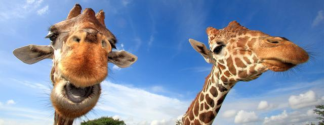 睡眠时间最短的几种哺乳动物, 长颈鹿一天睡俩小时就够了