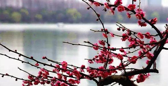 南京赏梅的时节到了,随手一拍,就可以做成壁纸