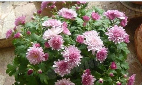 此花是自由之花,花开粉嫩妖媚,似仙女起舞,给人带来自由与和平