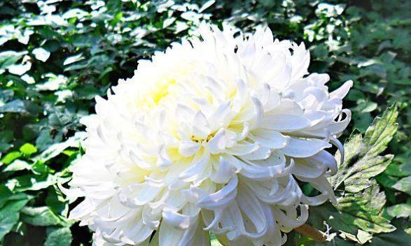 """喜欢菊花,不如养盆优良名菊""""白弥勒"""",似无暇白玉,高雅秀气!"""