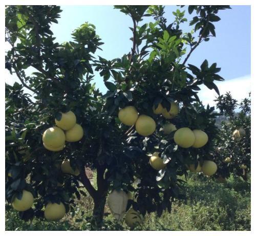 梅州大埔的红心上市了,跟普通的柚子有什么区别?值得一年等待