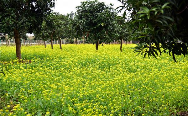 佛山罗南生态园油菜花盛放,带来了春天的信息
