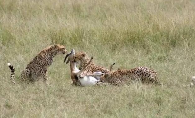 豹子辛苦捕食猎物后竟遭遇路过鬣狗,悲剧了 !