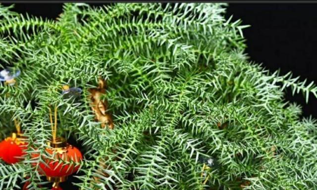 如何养护澳洲杉盆栽