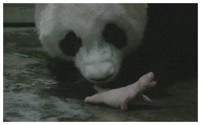 被美国误认为是雄性大熊猫,如今诞下龙凤胎,是全球最重龙凤胎!