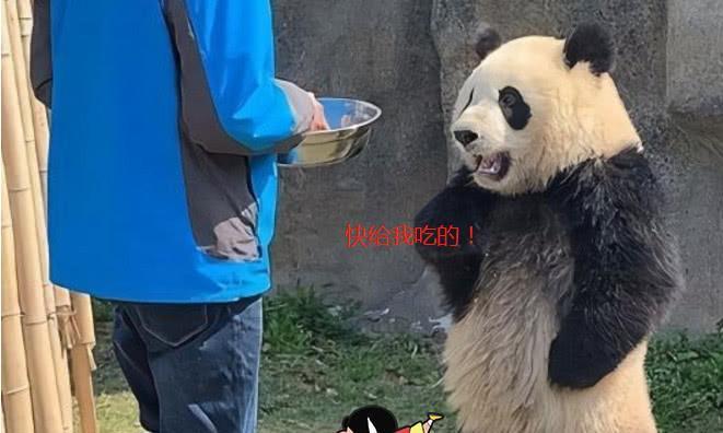 动物园的大熊猫被质疑是人装扮?管理员称熊猫模仿人的行为!