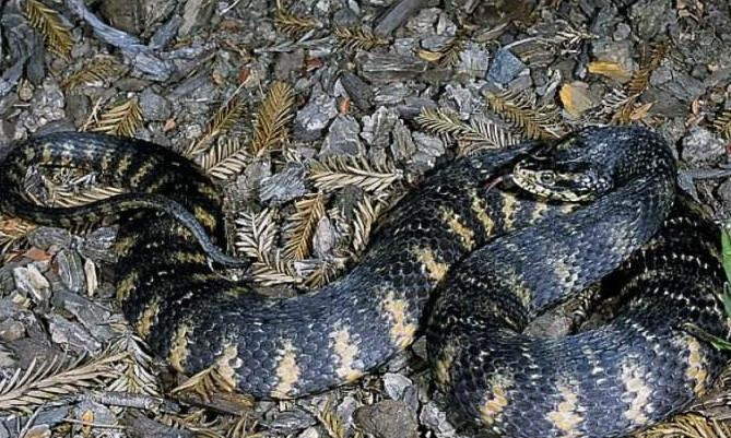 世界上最阴狠的蛇,跟鱼嘴对嘴喂毒液,捕食之快堪比恶狼!