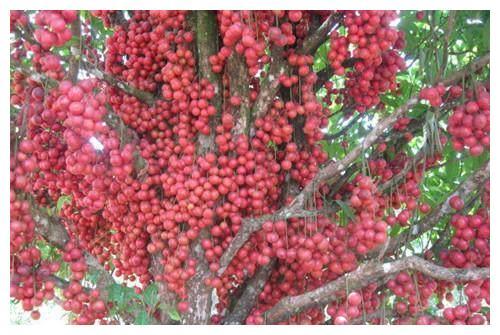 南方农村特有的野果,果子结在树干上,酷似葡萄,北方人很少见过
