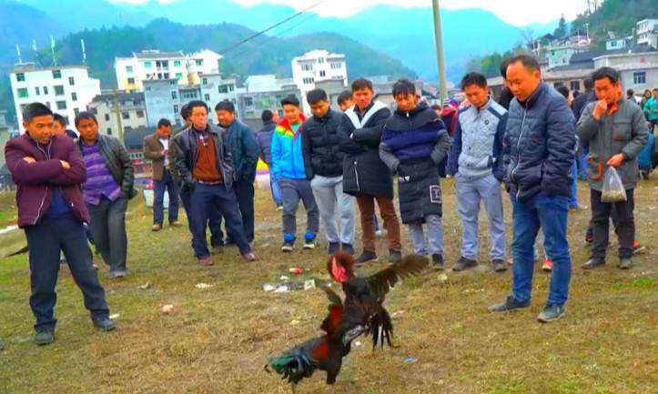 """一群斗鸡在赛场进行殊死搏斗:要么成为""""鸡王"""",要么被人吃掉"""