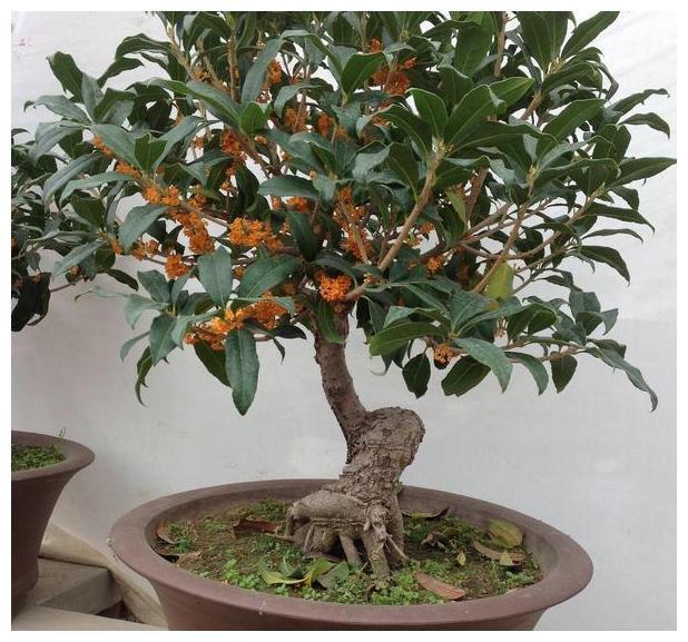 秋季如何养好桂花盆栽?用上3个小妙招,一盆变多盆,造型更好看