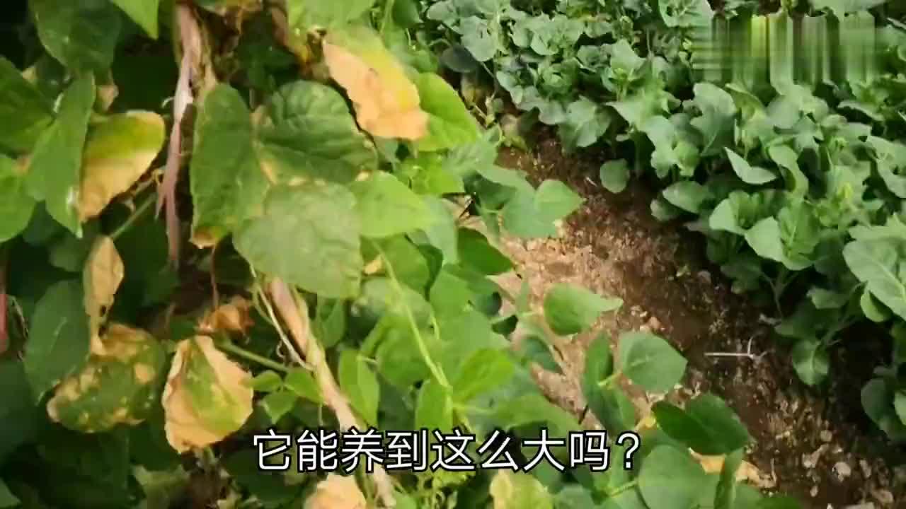 春节vlog自家菜园打理得真好品种堪比菜市场想吃现摘很新鲜