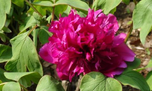 """喜欢菊花,不如养盆优良牡丹""""轻罗"""",花叶具美,是盆栽佳品"""