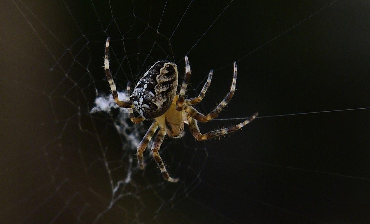 捷克共和国奥洛莫克,在网中的一只花园蜘蛛