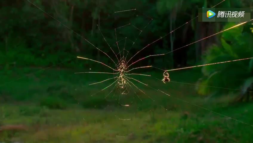 终极的猎食者织出世界上最大的网静等猎物自动送上门