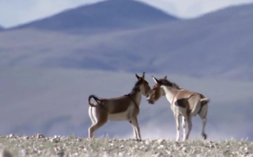 公驴相互决斗,胜利者能获得一群母驴的青睐