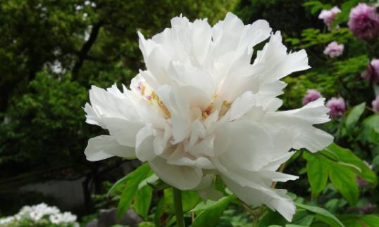 """喜欢菊花,不如养盆优良名菊""""白雪塔"""",似莲花宝座,素雅耐看!"""